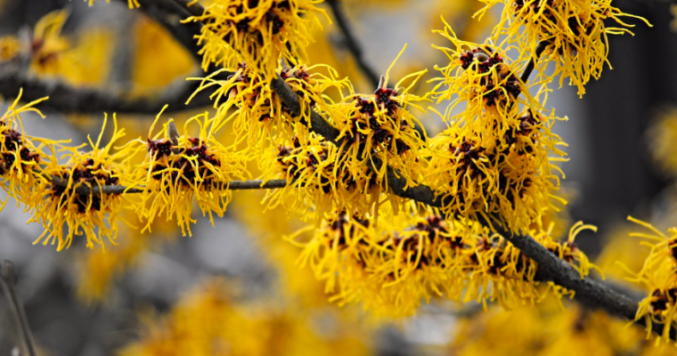 9 Skin Benefits and Uses of Witch Hazel